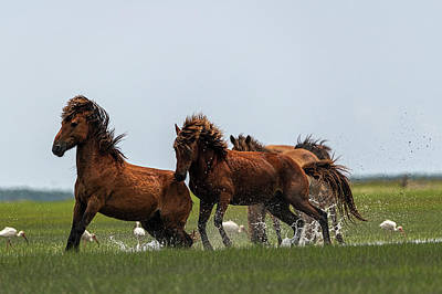 Photograph - Two Stallions Showing Off For Mare by Dan Friend