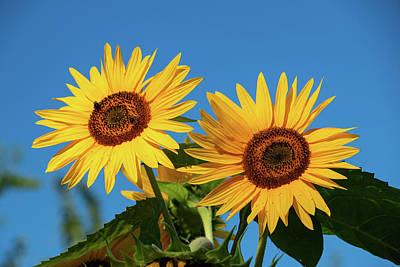 Photograph - Two Sunflowers by Jeff Severson