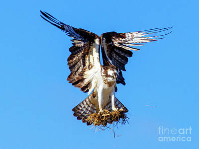Photograph - Two  Talons Full by Mike Dawson