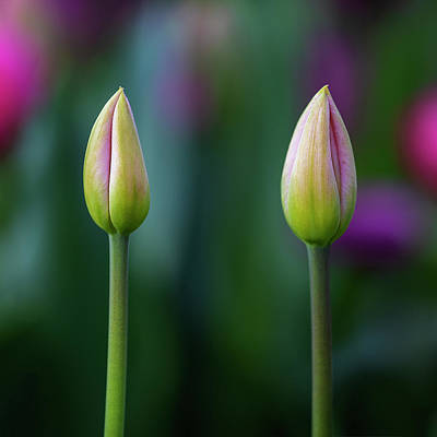 Photograph - Two Tulips by John Rodrigues