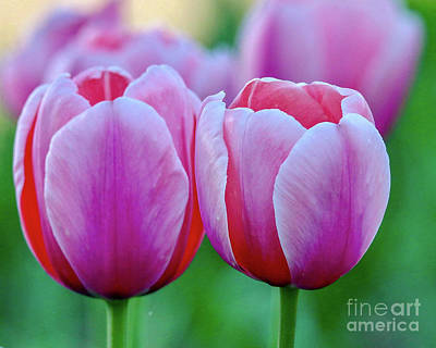 Photograph - Two Tulips by Susan Rydberg