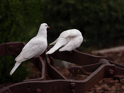 Photograph - Two White Doves On Farm Equiptment 003 by Chris Flees