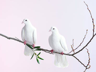 Branch Photograph - Two White Doves With Olive Branch by Walker And Walker