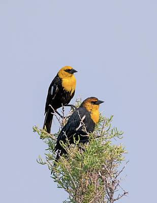 Photograph - Two Yellow Headed Blackbirds by Loree Johnson