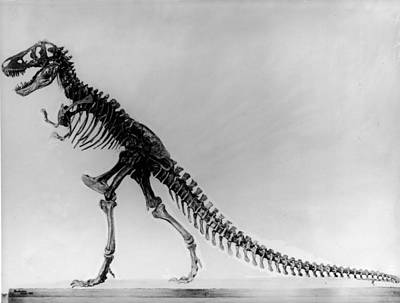 Tyranosaurus Skeleton Art Print by Hulton Archive