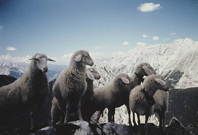Photograph - Tyrolean Sheep by Archive Photos