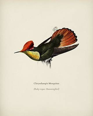 Painting - ufted Coquette  Lophornis Ornatus illustrated by Charles Dessalines D Orbigny  1806 1876  by Celestial Images