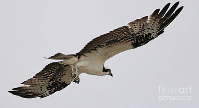 Photograph - Under Osprey Wings by Carol Groenen