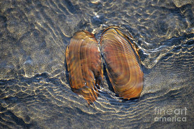 Razor Clams Wall Art - Photograph - Underwater Angel Wings by Denise Bruchman