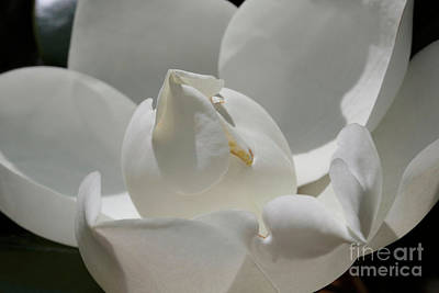 Photograph - Unfolding Magnolia  by Carol Groenen