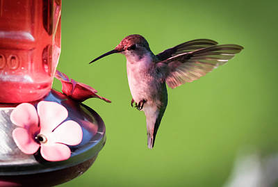 Photograph - Up Close with the Ruby-throated Hummingbird by Ricky L Jones