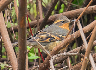 Photograph - Varied Thrush Hiding by Loree Johnson