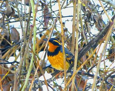 Photograph - Varied Thrush by Will Borden
