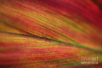 Photograph - Variegated Ti Leaf by Charmian Vistaunet