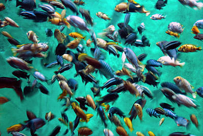 Ken Ilio Photograph - Various Multi-colored African Fish by By Ken Ilio