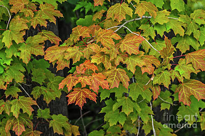 Photograph - Various Stages Of Fall Color On Maple Leaves by Sue Smith