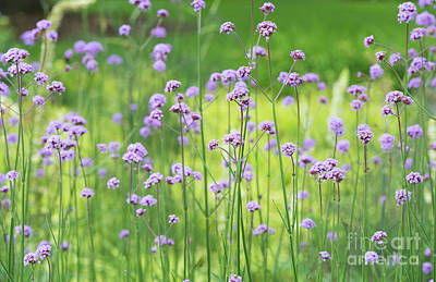 Photograph - Verbena by Tim Gainey