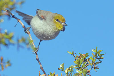 Photograph - Verdin 9618-010218-1 by Tam Ryan