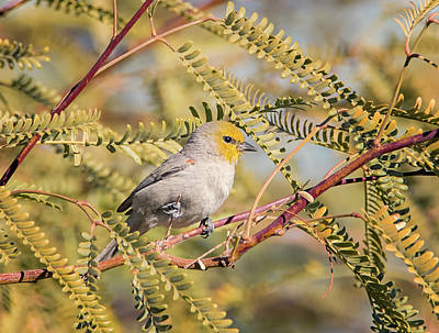 Photograph - Verdin In A Tree by Loree Johnson