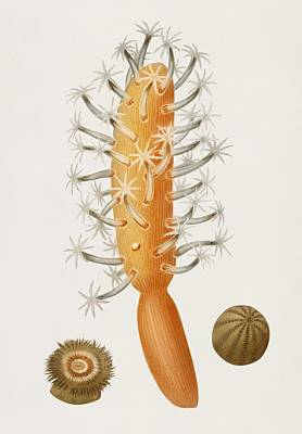 Painting - Veretillum Cynomorium  Sea Carrot  Actinia Effoeta Sea Anemone Illustrated By Charles Dessalines D  by Celestial Images