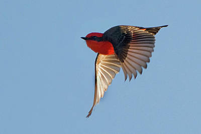 Photograph - Vermilion Flycatcher 3682-020119 by Tam Ryan