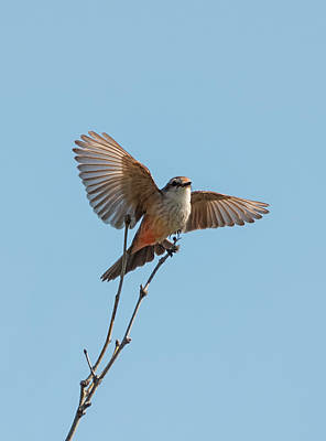Photograph - Vermilion Flycatcher Ballet by Loree Johnson