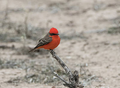 Photograph - Vermilion Flycatcher In The Desert by Loree Johnson