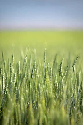 Photograph - Vertical Green Wheat by Todd Klassy