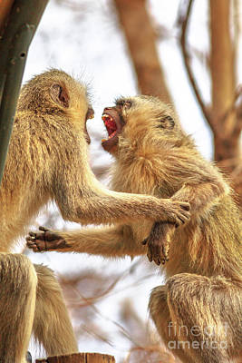 Photograph - Vervet Monkeys Angry by Benny Marty