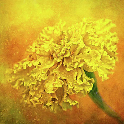 Photograph - Very Gold Marigold by HH Photography of Florida