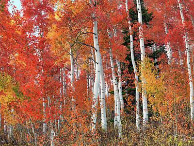 Photograph - Vibrant Aspen Forest by Leland D Howard
