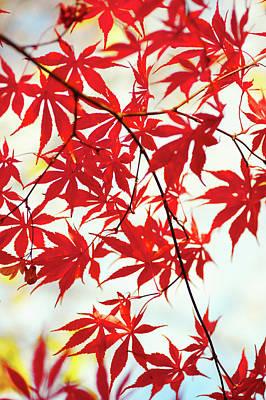 Photograph - Vibrant Glimpses Of Autumn. Acer Palmatum Sumi Nagashi 1 by Jenny Rainbow