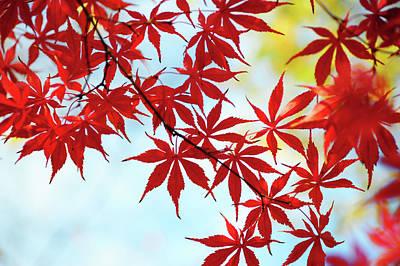 Photograph - Vibrant Glimpses Of Autumn. Acer Palmatum Sumi Nagashi 2 by Jenny Rainbow