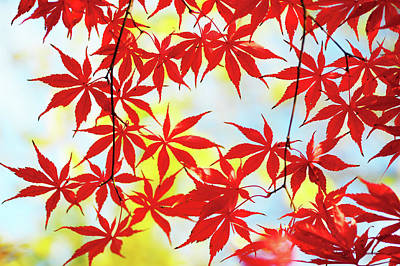 Photograph - Vibrant Glimpses Of Autumn. Acer Palmatum Sumi Nagashi 3 by Jenny Rainbow