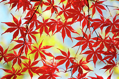 Photograph - Vibrant Glimpses Of Autumn. Acer Palmatum Sumi Nagashi 4 by Jenny Rainbow