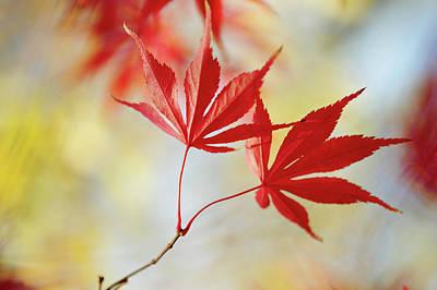 Photograph - Vibrant Glimpses Of Autumn. Acer Palmatum Sumi Nagashi 5 by Jenny Rainbow