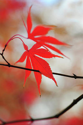 Photograph - Vibrant Glimpses Of Autumn. Acer Palmatum Sumi Nagashi 6 by Jenny Rainbow