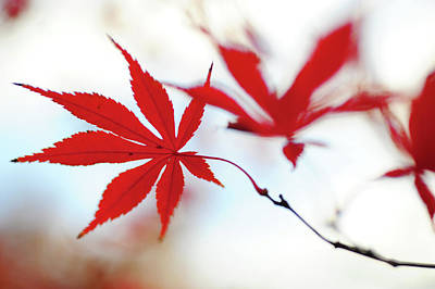 Photograph - Vibrant Glimpses Of Autumn. Acer Palmatum Sumi Nagashi 7 by Jenny Rainbow