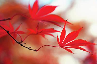 Photograph - Vibrant Glimpses Of Autumn. Acer Palmatum Sumi Nagashi 8 by Jenny Rainbow