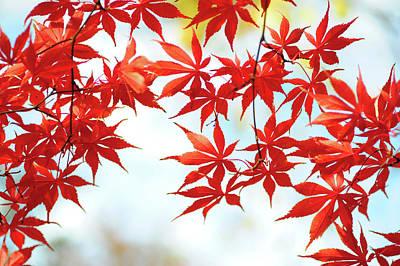Photograph - Vibrant Glimpses Of Autumn. Acer Palmatum Sumi Nagashi by Jenny Rainbow