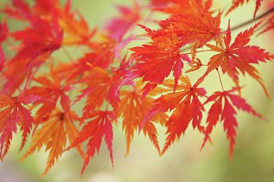 Israeli Flag - Vibrant Glimpses of Autumn. Japanese Maple Leaves 11 by Jenny Rainbow