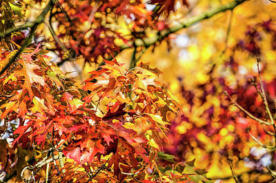 Photograph - Vibrant Oak Leaves by Frans Blok