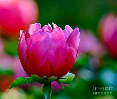 Photograph - Vibrant Pink Peony by Susan Rydberg