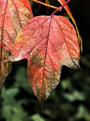 Photograph - Viburnum Leaf by Diane Chandler