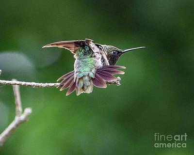 From The Kitchen - View From Behind of Flexing Ruby-thraoted Hummingbird by Cindy Treger