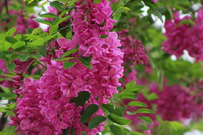 Photograph - Vin Rouge Flowers On Locust Tree In Rain by Colleen Cornelius
