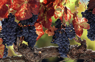 Photograph - Vine Branch With Grapes, Wine Country by Peter Ginter
