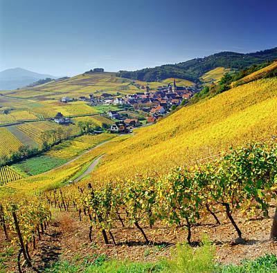 Autumn Photograph - Vineyard In Alsace, Haut-rhin, France by Slow Images