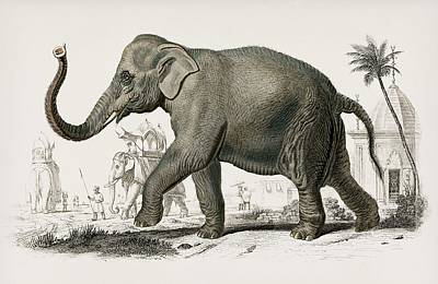 Painting - Vintage Illustration Of Asiatic Elephant  Elephas Maximus  Indicus by Celestial Images