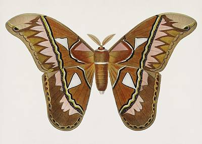 Painting - Vintage Illustration Of Attacus Atlas Moth  Attacus Aurora  by Celestial Images